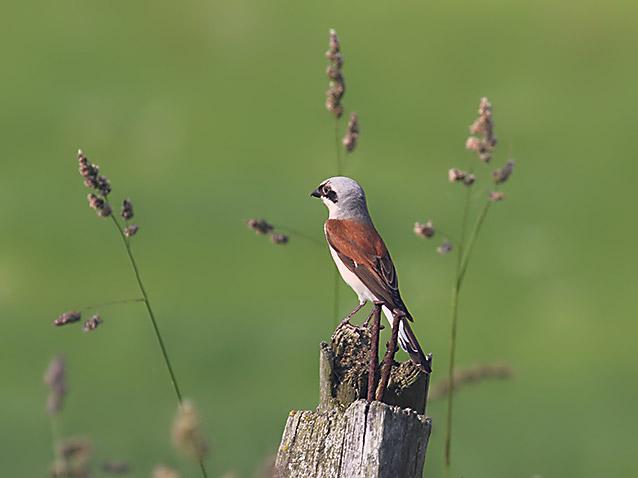 Vogel Neuntöter auf Insektenjagd im Grünen.