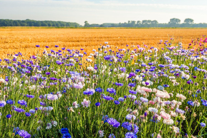 Wildblumenwiese mit Feld im Hintergrund.