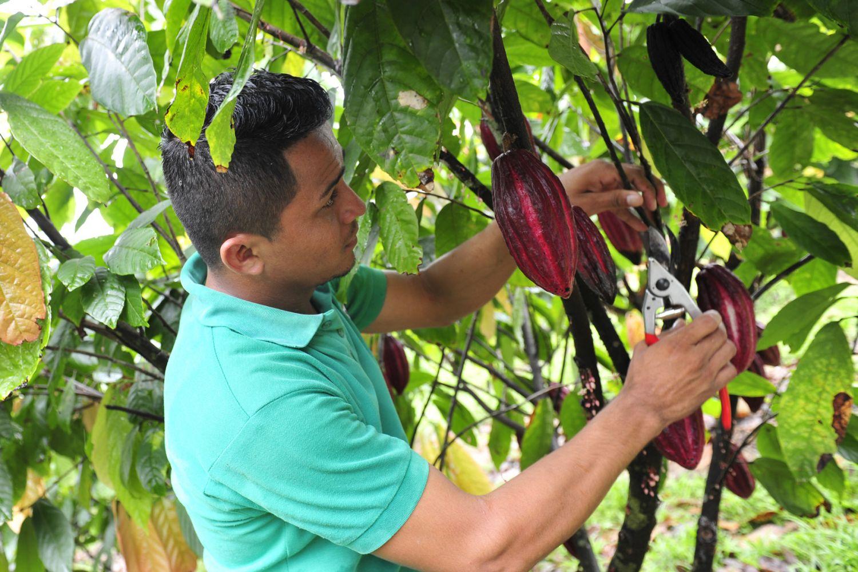 Mann bei der Ernte er Kakaofrucht.