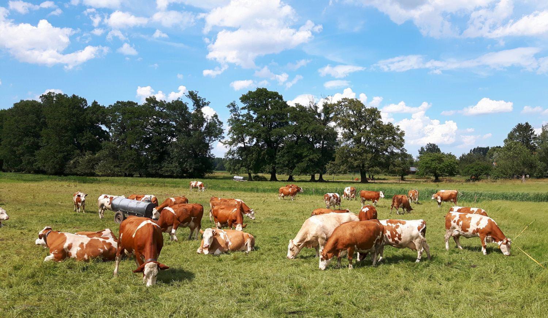 Kühe beim Grasen auf der Weide